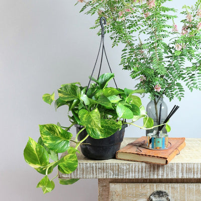 [Golden Pothos hanging basket]