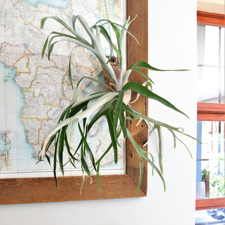 [Mounted Staghorn Fern, large]