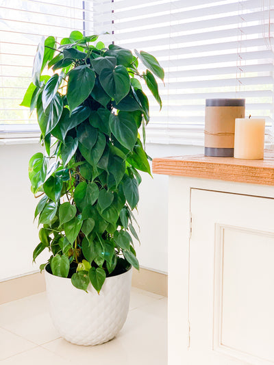 [Heart Leaf Philodendron]