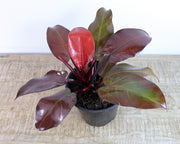 [Philodendron Rojo Congo 'Sunset Red']