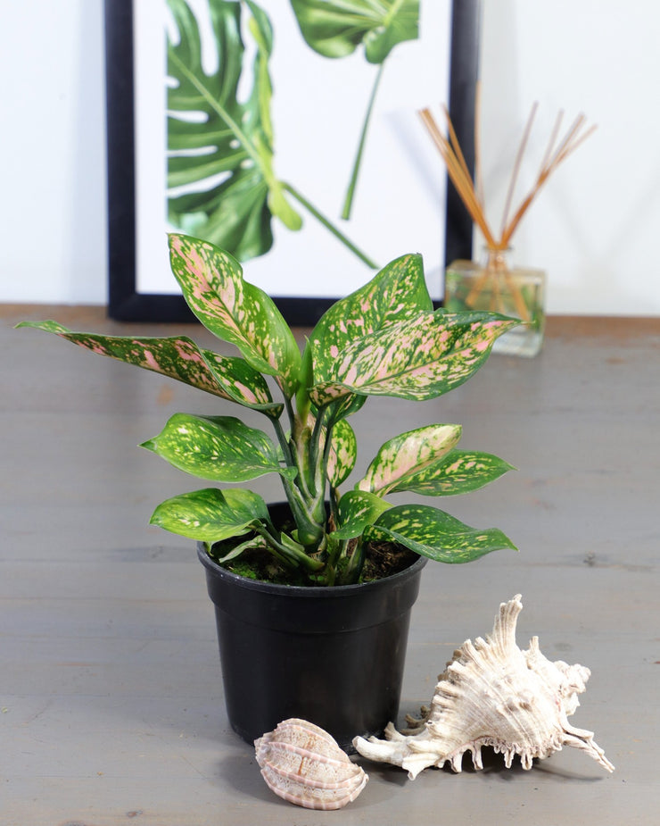 [Monstera adansonii, Delicious Monster]
