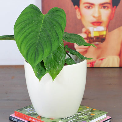 [Fiddle Leaf Fig - Large]