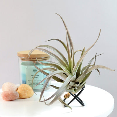 Air Plant Harrisii 'Himnorum'