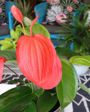 [Flamingo Flower 'Lindsey']