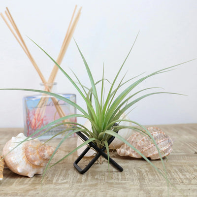 Giant Air Plant 'mini'