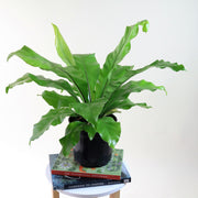 [Bird's Nest Fern - medium]