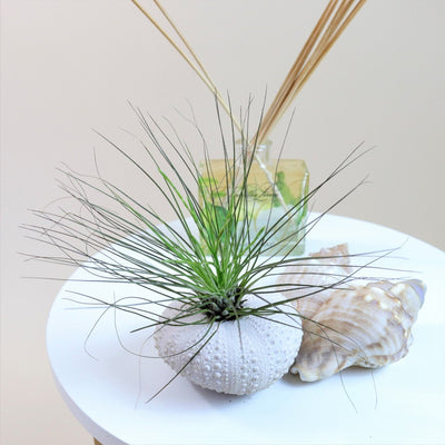 Air Plant Filifolia