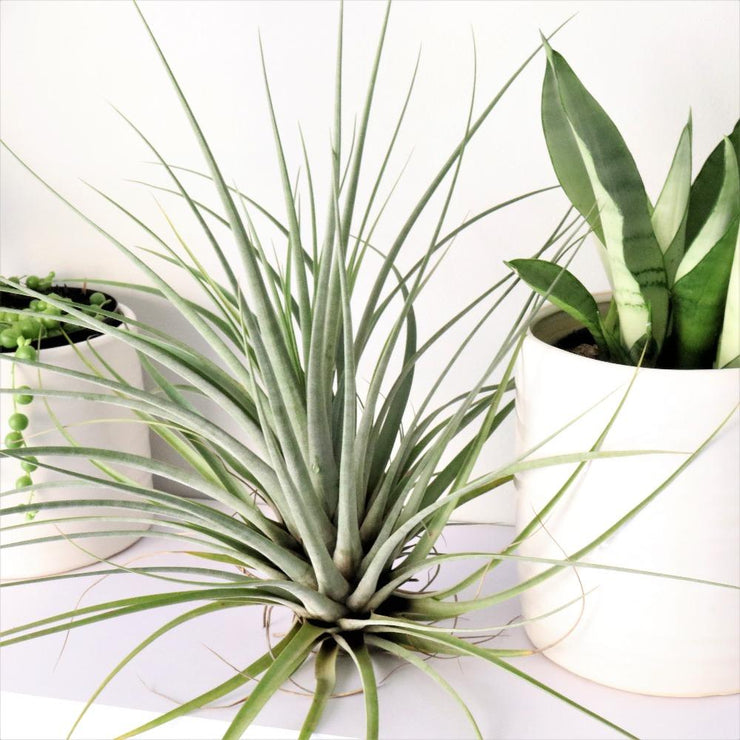 [Giant Airplant]