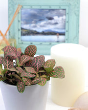 [Fittonia Nerve Plant - Pink]