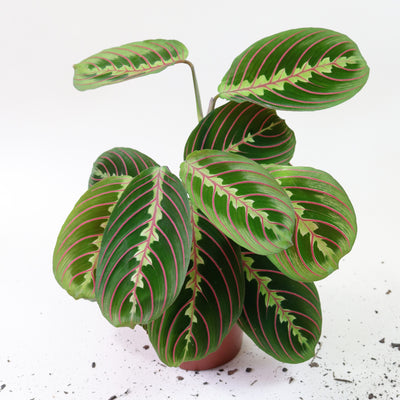 [Maranta red-veined]