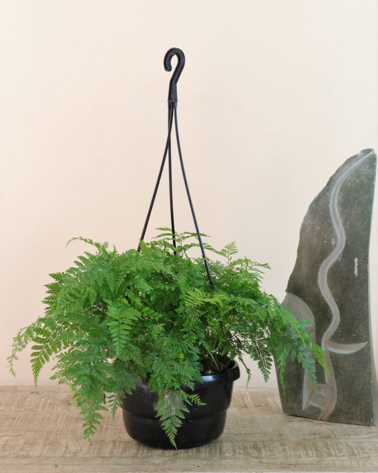 [Rabbit's Foot Fern hanging basket]