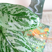 [Chinese Evergreen 'Silver Queen']