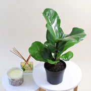 [Fiddle Leaf Fig]