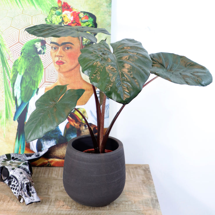 [Rubber Plant 'Tineke' - Large]