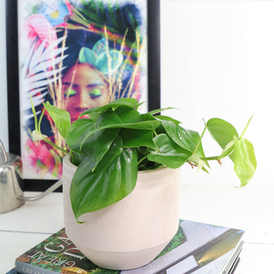 [Heart Leaf Philodendron green - 12cm pot]
