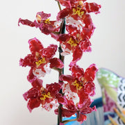 [Oncostele 'Eye Candy' orchid]