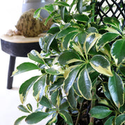 [Umbrella Plant - variegated]