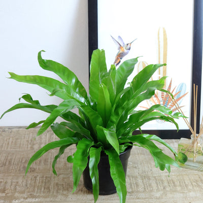 [Bird's Nest Fern Antiquum]