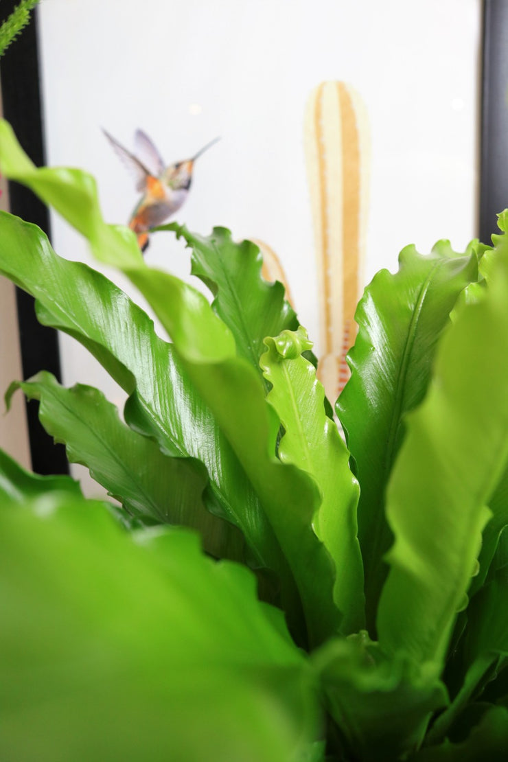 [Bird's Nest Fern Osaka]