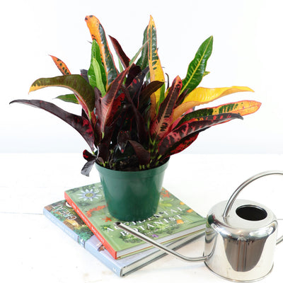 [Croton 'Can-Can']