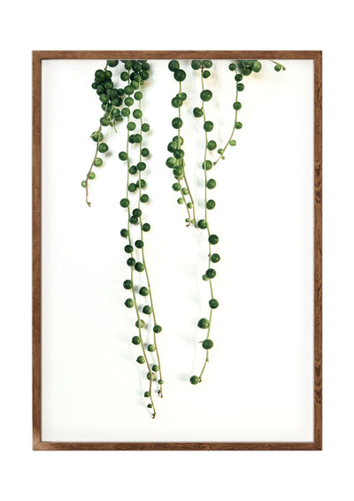 Botanical Print String of Pearls Portrait 2