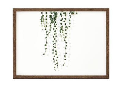 Botanical Print String of Pearls Landscape 1