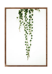 Botanical Print String of Pearls Portrait 1