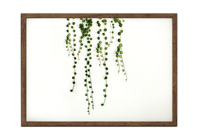 Botanical Print String of Pearls Landscape 2