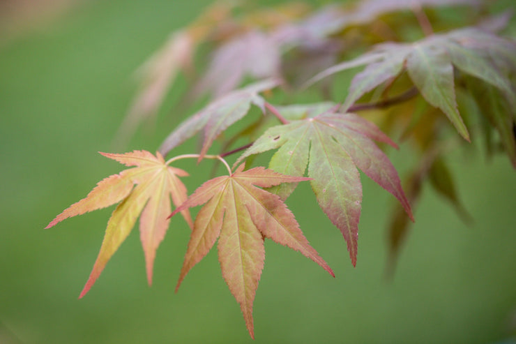 [Japanese Maple]