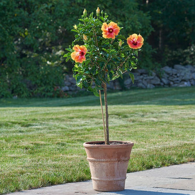 [Hibiscus topiary - various colours]