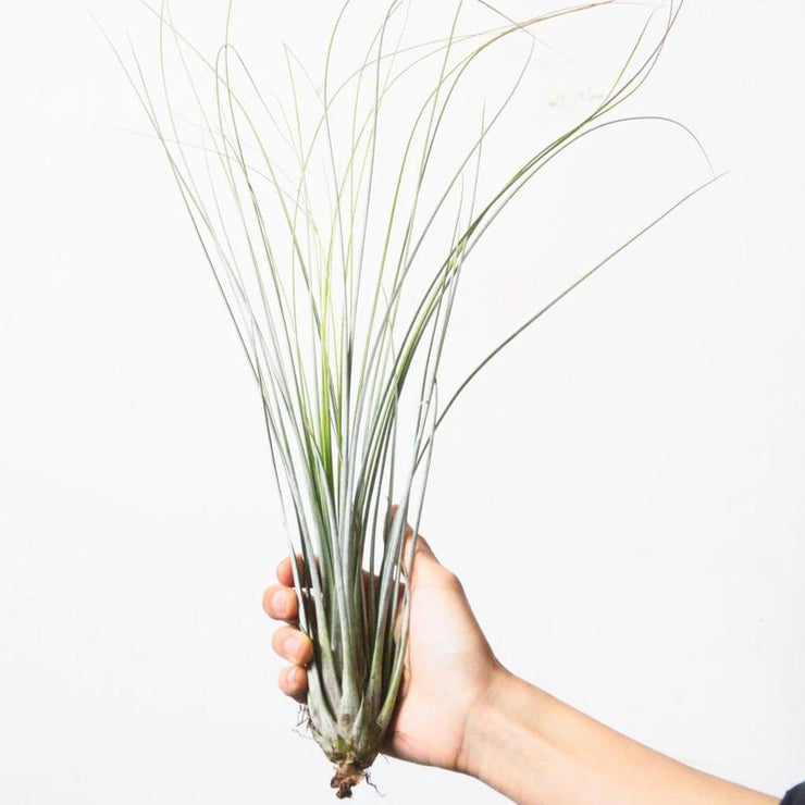 Air Plant 'Juncea'