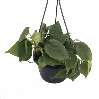 [Heart Leaf Philodendron green - medium basket]