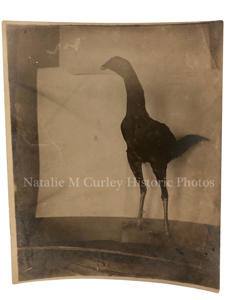 1900s ODD Featherless Chicken Farm Pet Photo