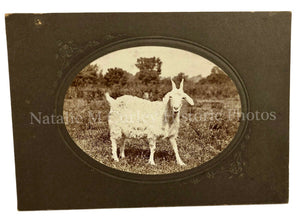 Victorian 1900s Pet Goat Portrait Photo