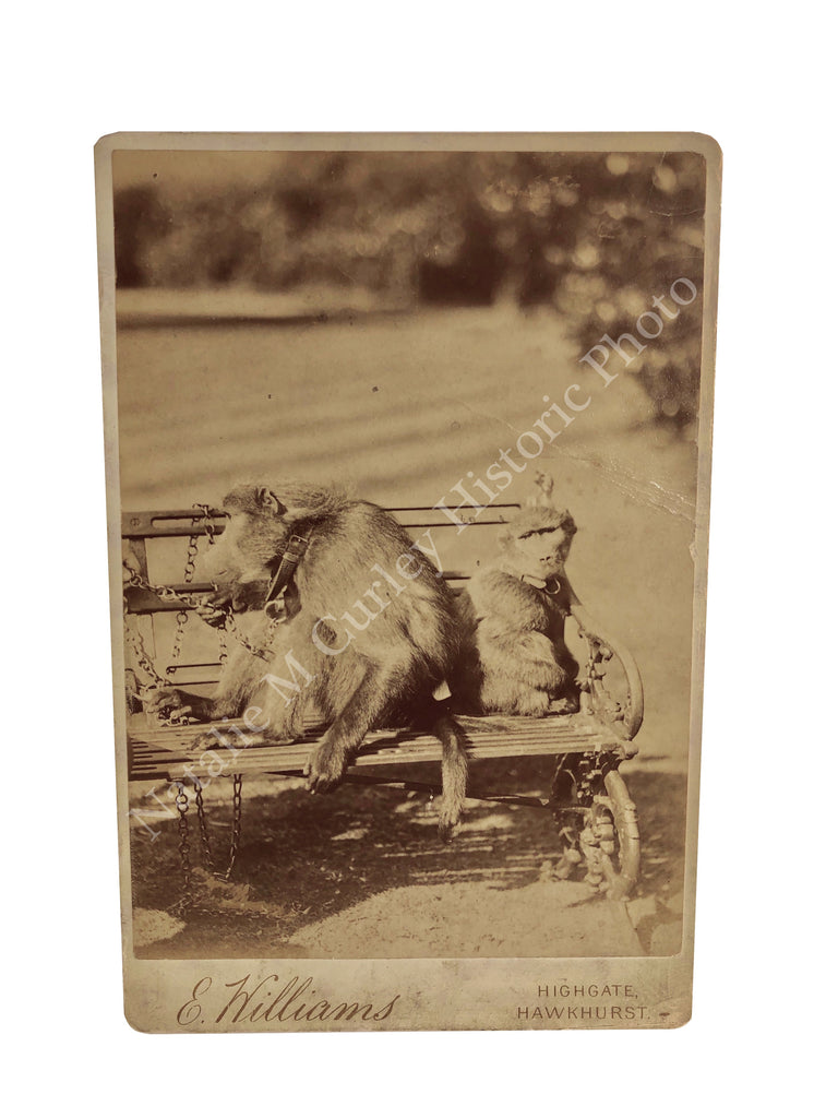 1880s Victorian Pet Monkeys Leashed British Cabinet Photo