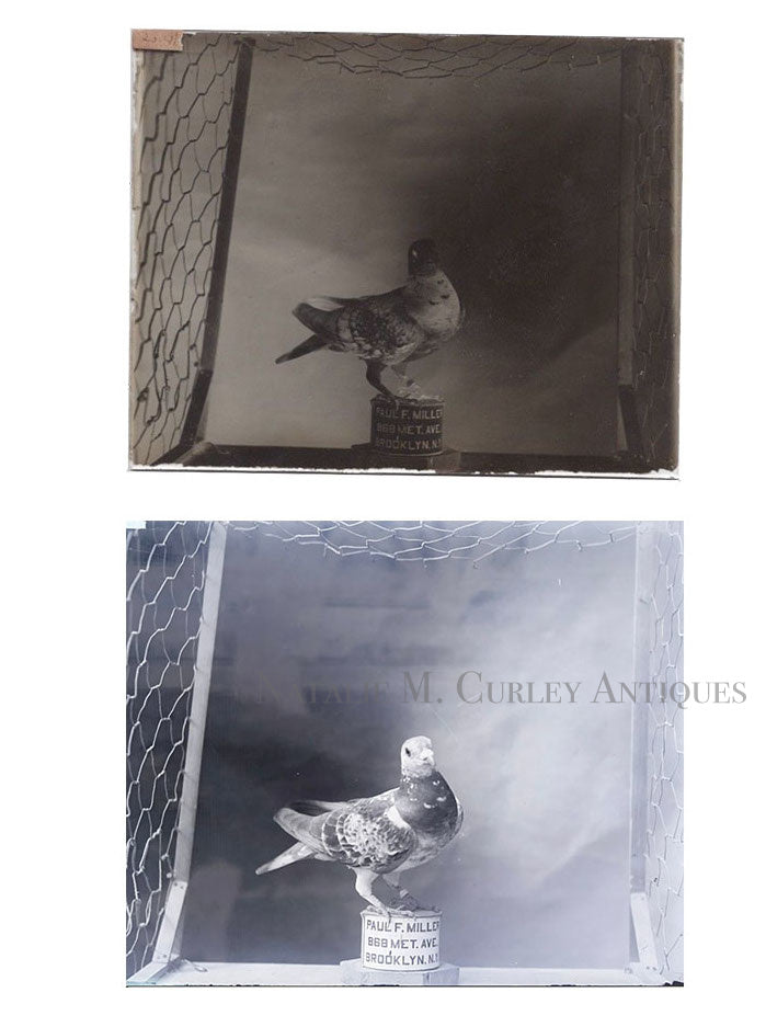 Vintage 1906 Pigeons Bird Coop Brooklyn NY Signed Glass Photo Negatives