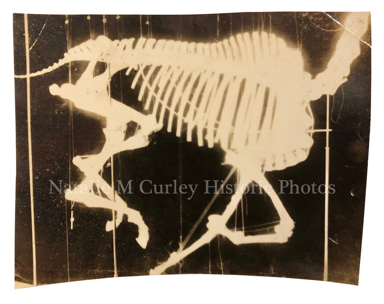 19thc Horse XRAY Scientific Skeleton Photo