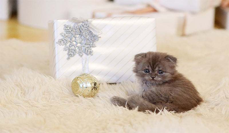 Cat beside gift box