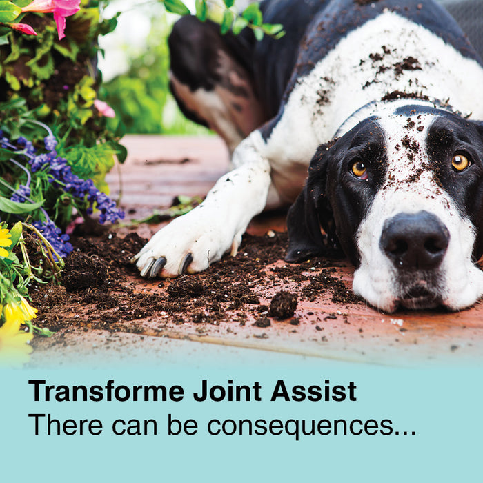 Big dog lying next to a wrecked flower bed, text says, Transforme Joint Assist ...there can be consequences