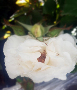 Margaret merril Rose shrub pearly white very scented small floribunda