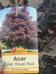 Acer tree, royal Red, deciduous, ornamental