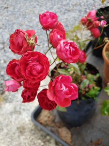 Patio rose mothers day