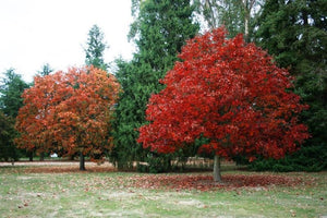 Red, Oak deciduous, Quercus Rubra,  tree.