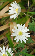 Load image into Gallery viewer, blanda daisy white Anemone