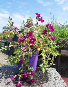 Aubrieta Audrey Purple Red