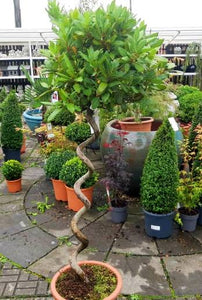 Bay Leaf Topiary