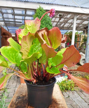 Load image into Gallery viewer, Bergenia cordifolia