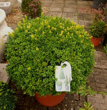 Load image into Gallery viewer, Buxus Large