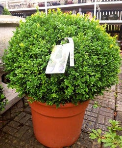 Buxus Large