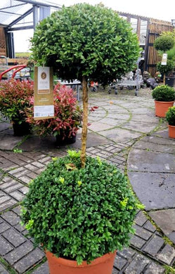 Buxus Single Stem
